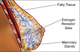 diagram of breast showing anatomy